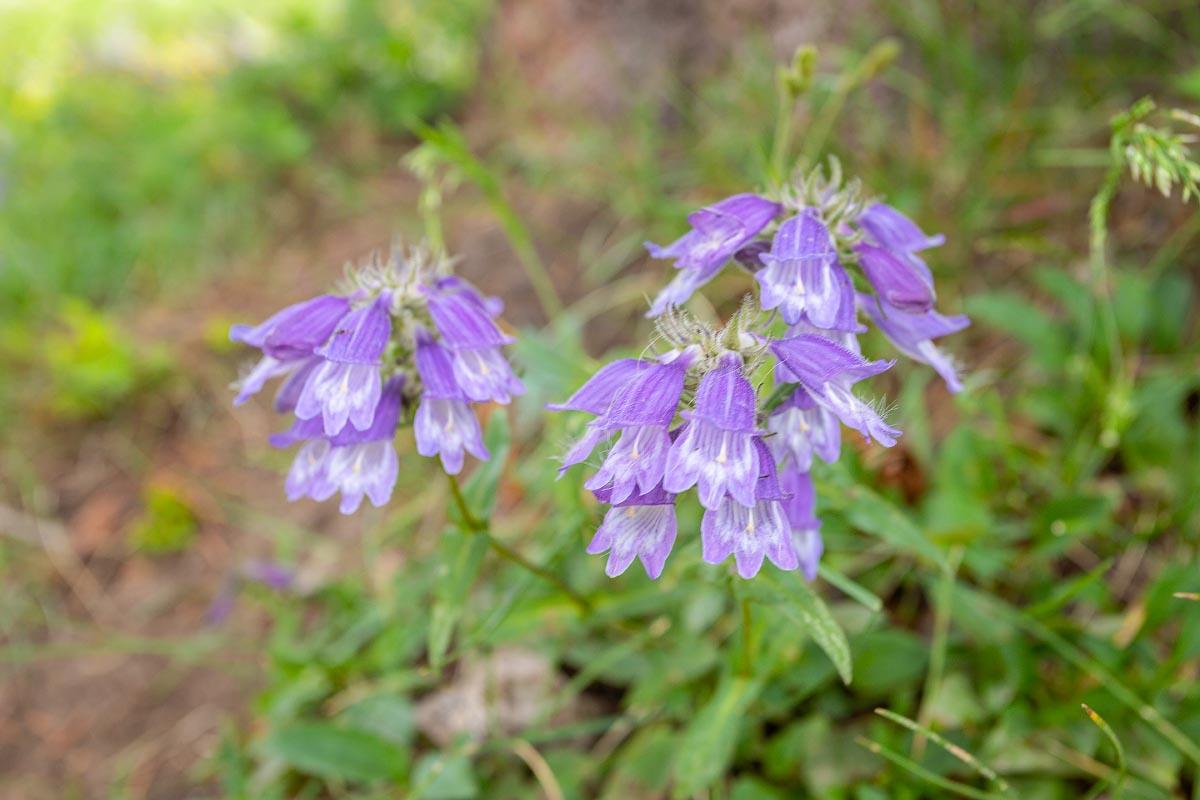 Rocky Mountain Penstemon wildflower Wyoming