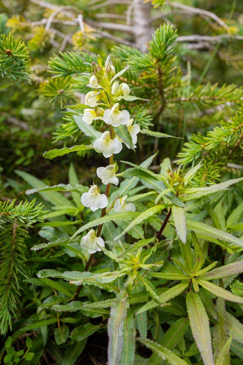 Sickletop Lousewort wildflower Wyoming
