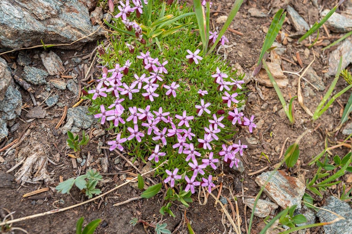 Mountain Phlox alpine wildflower Wyoming