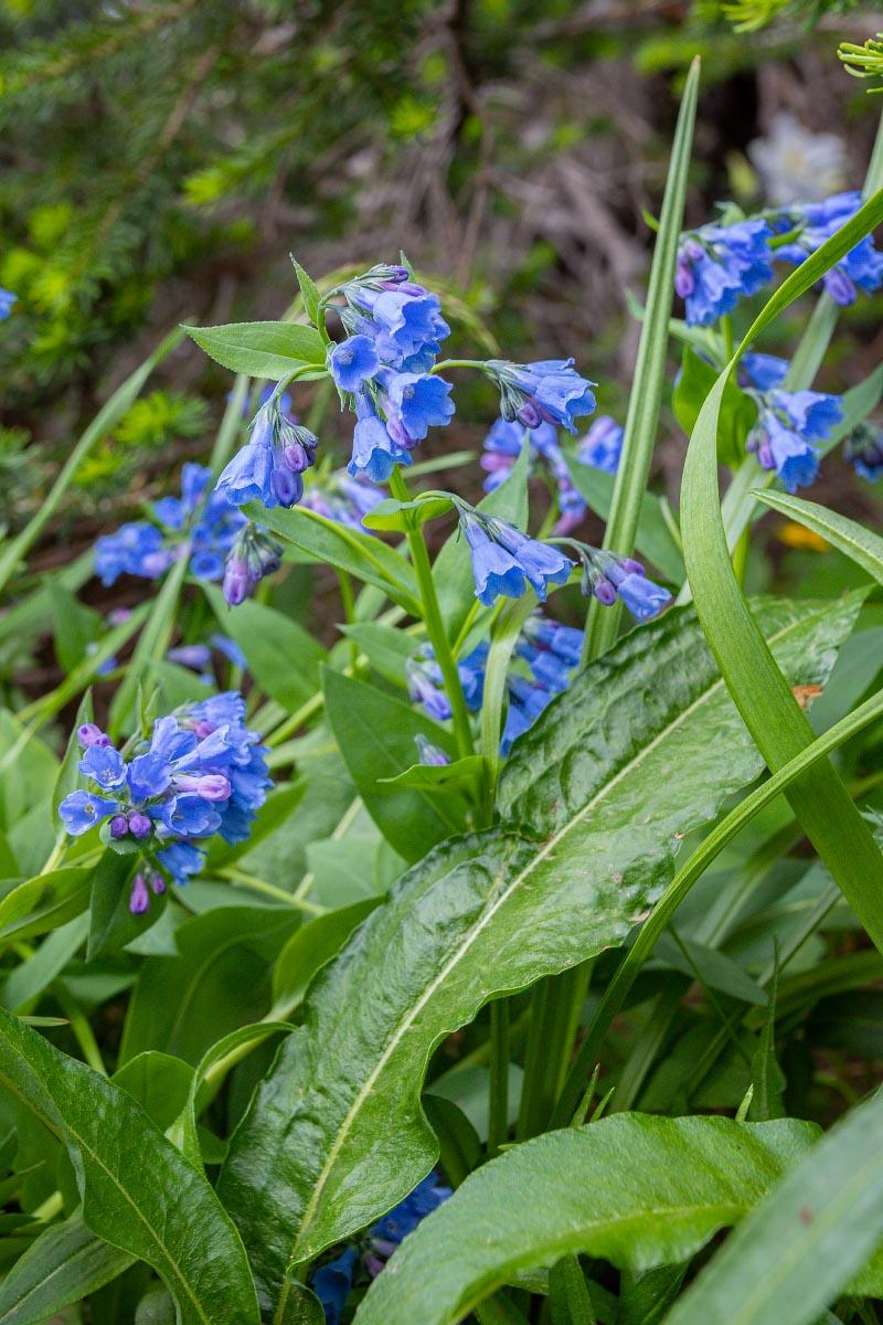 Narrowleaf Bluebells Prairie Bluebells wildflower Wyoming
