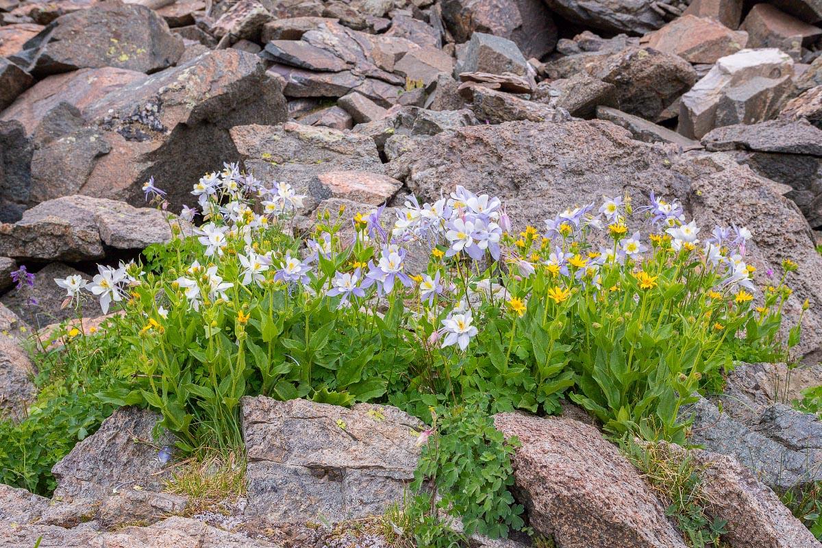 Columbine and Arnica wildflowers Wyoming