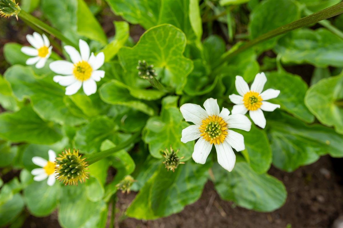White Marsh Marigold wildflower Wyoming