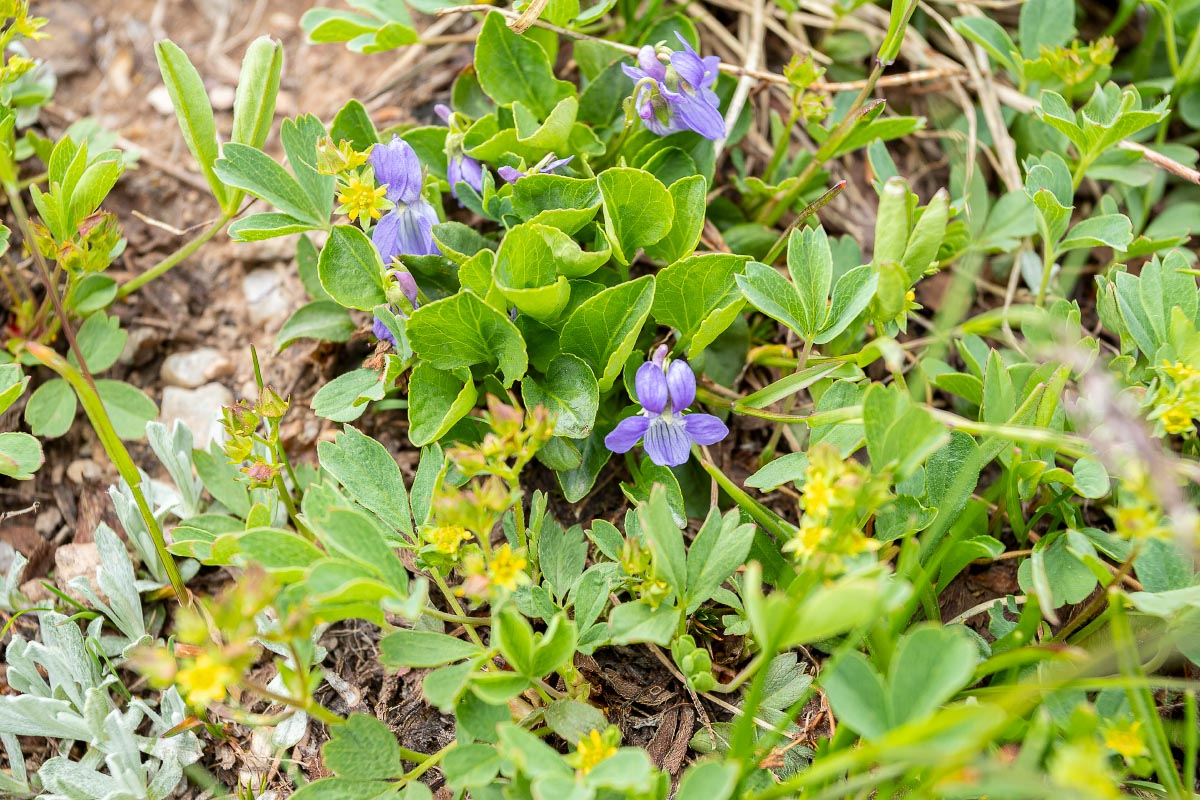 Western Blue Violets wildflower Wyoming