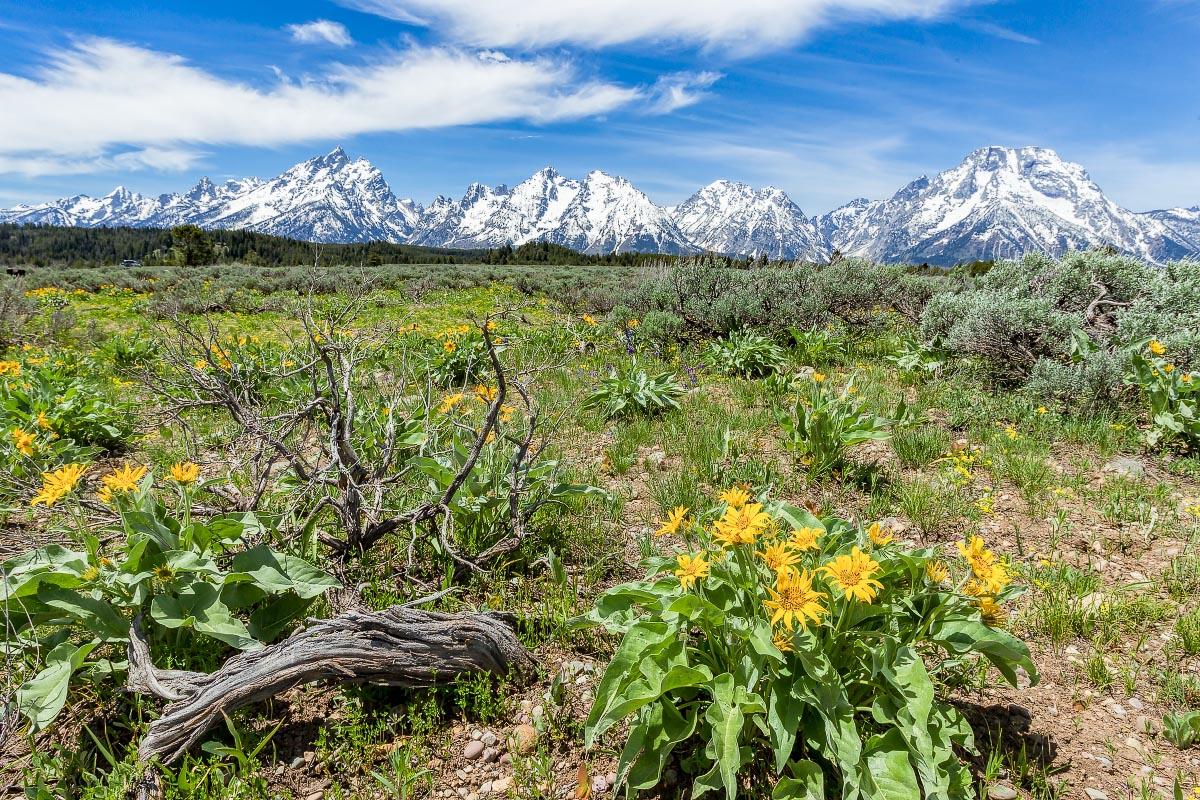 Arrowleaf Balsamroot Grand Teton National Park Wyoming